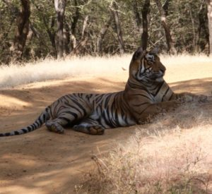 Packman Tiger in Ranthambhore
